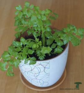 росток сельдерея 11