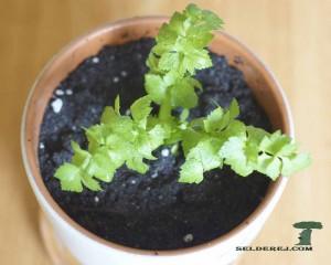росток сельдерея 8
