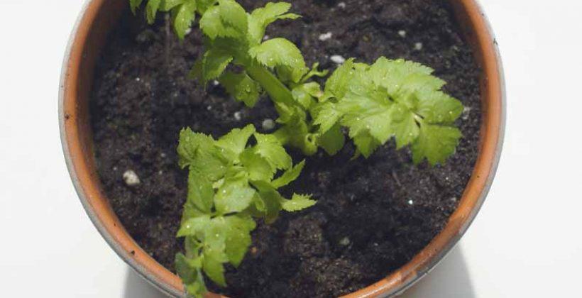 Семена, рассада  и посев сельдерея