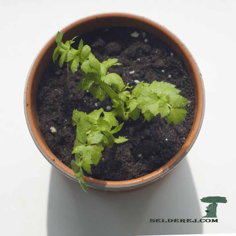 росток сельдерея 9