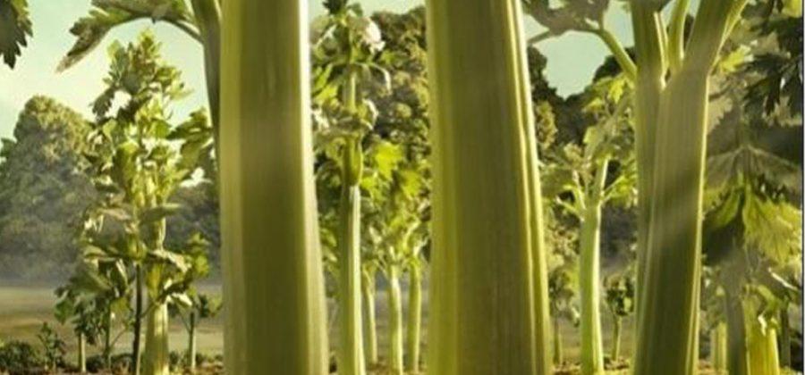 Немного научной информации об уникальных свойствах сельдерея.