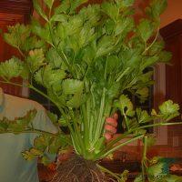 Что делать с листьями сельдерея? Как их сохранить?