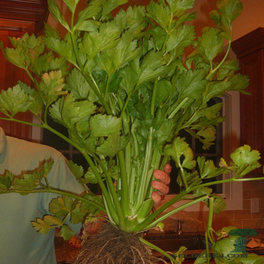 сельдерей черешковый с листьями