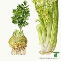Целебные (лечебные) свойства сельдерея