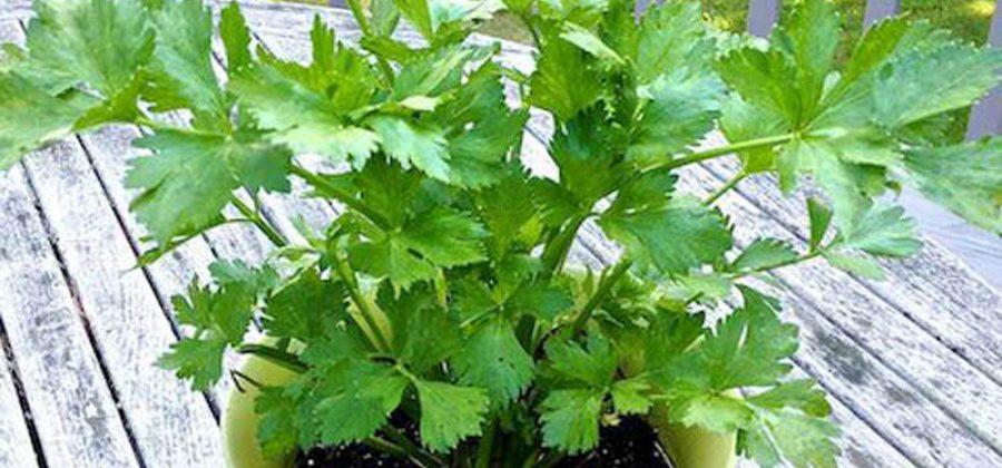Эксперимент по выращиванию листового сельдерея в горшке из черешкового